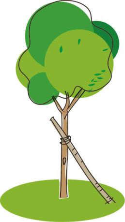 Je nach Grösse sollten Bäume während zwei bis vier Jahren mit einer Verankerung gestützt werden