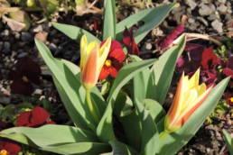 frühblühende Zwiebelblumen