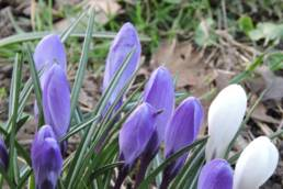 Krokusse frühblühende Zwiebelblumen