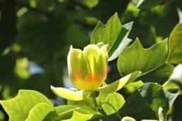 Der Tulpenbaum, ein lebendes Fossil