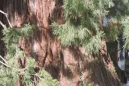 Die dicke Rinde des Mammutbaums