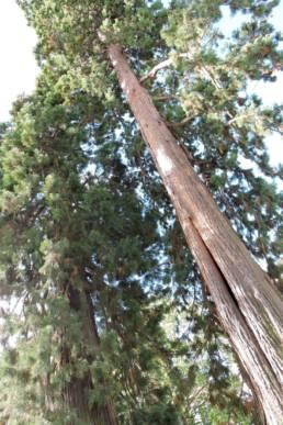 Hoch wachsender Mammutbaum