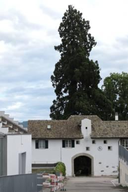 Mammutbaum in Parkanlagen