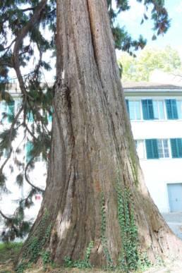 Stamm des Mammutbaum