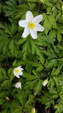 Frühblüher anemone nemorosa