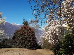 Magnolien im Tessin
