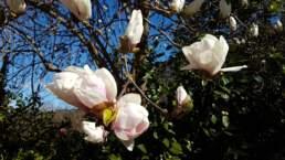 Magnolien exotische Gehölze